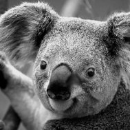 do you like koalas