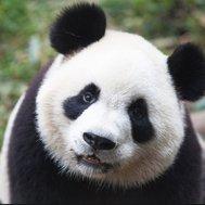are you a panda